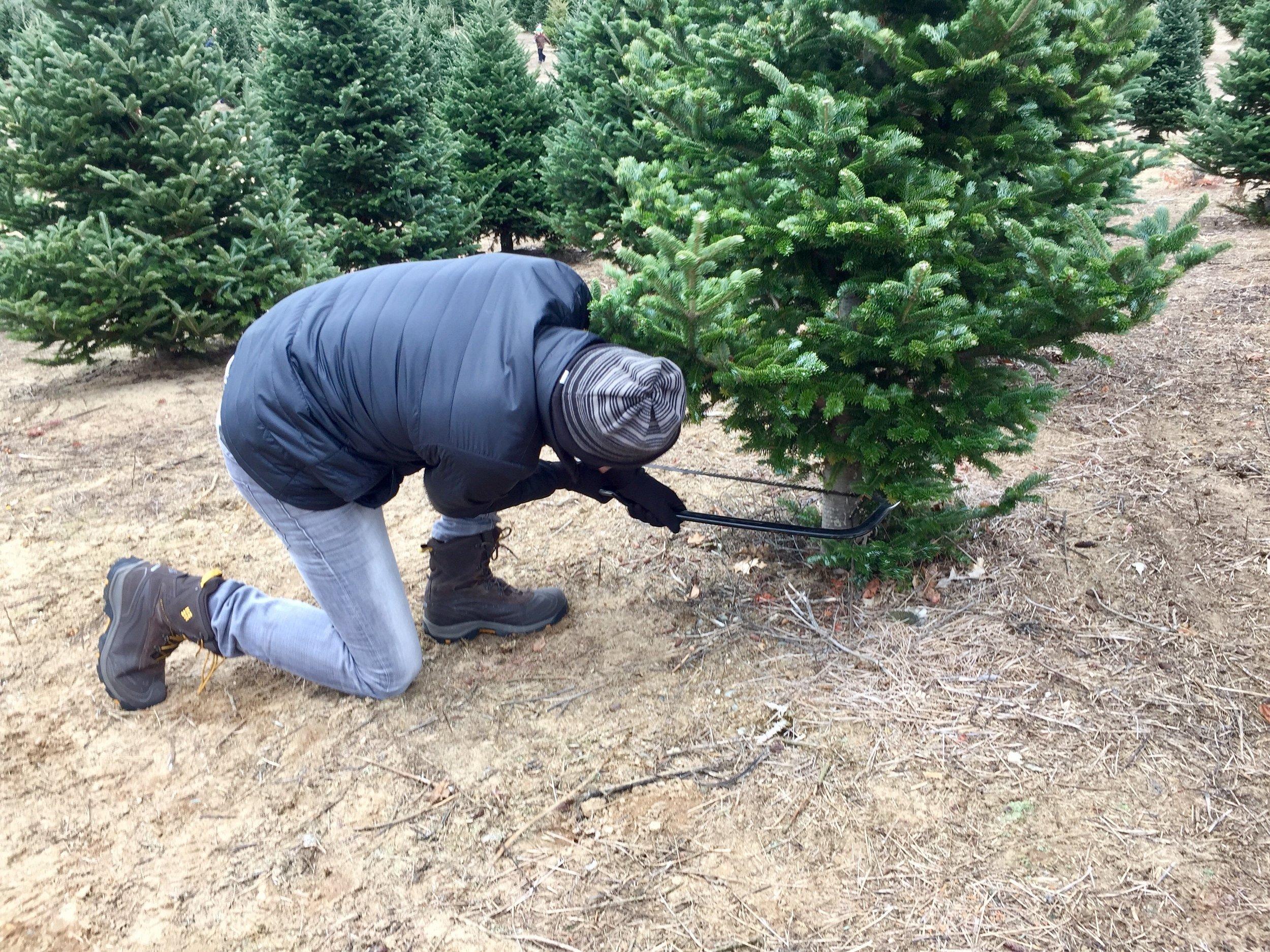 Hart Tree Farm tree cutting.jpg