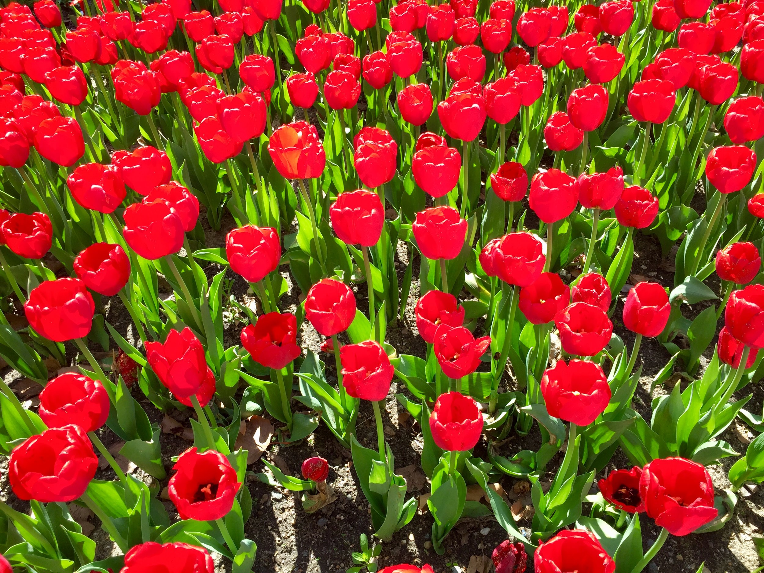 Tulip Time Holland.jpg