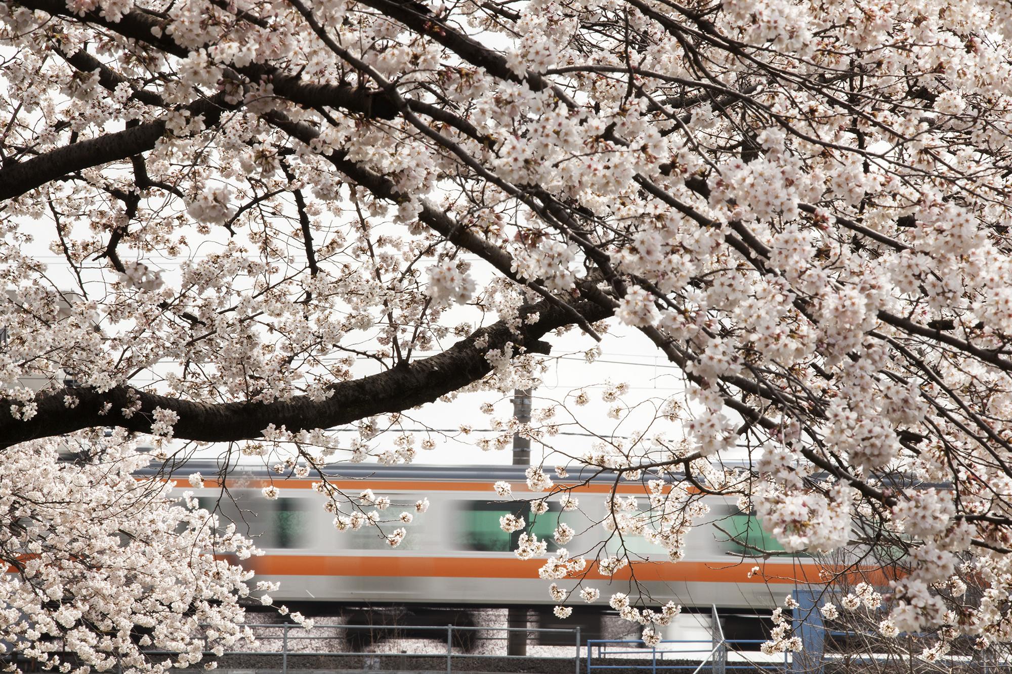 Sakura-4.3.14_40841.jpg