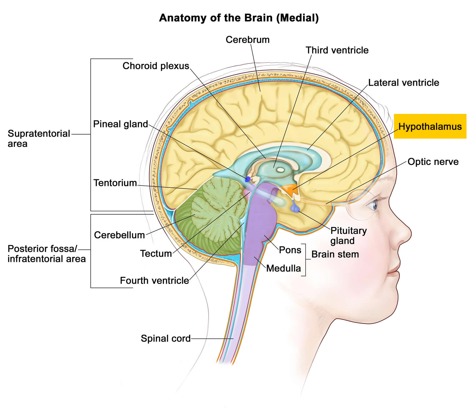 Interesting how the HYPOTHALAMUS aka the control tower for flight or flight is at the CENTER of your brain.