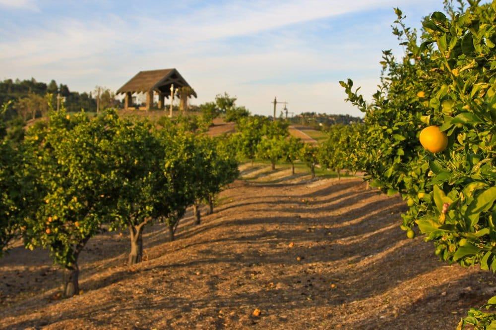 Oranges growing in citrus groves near our neighborhood