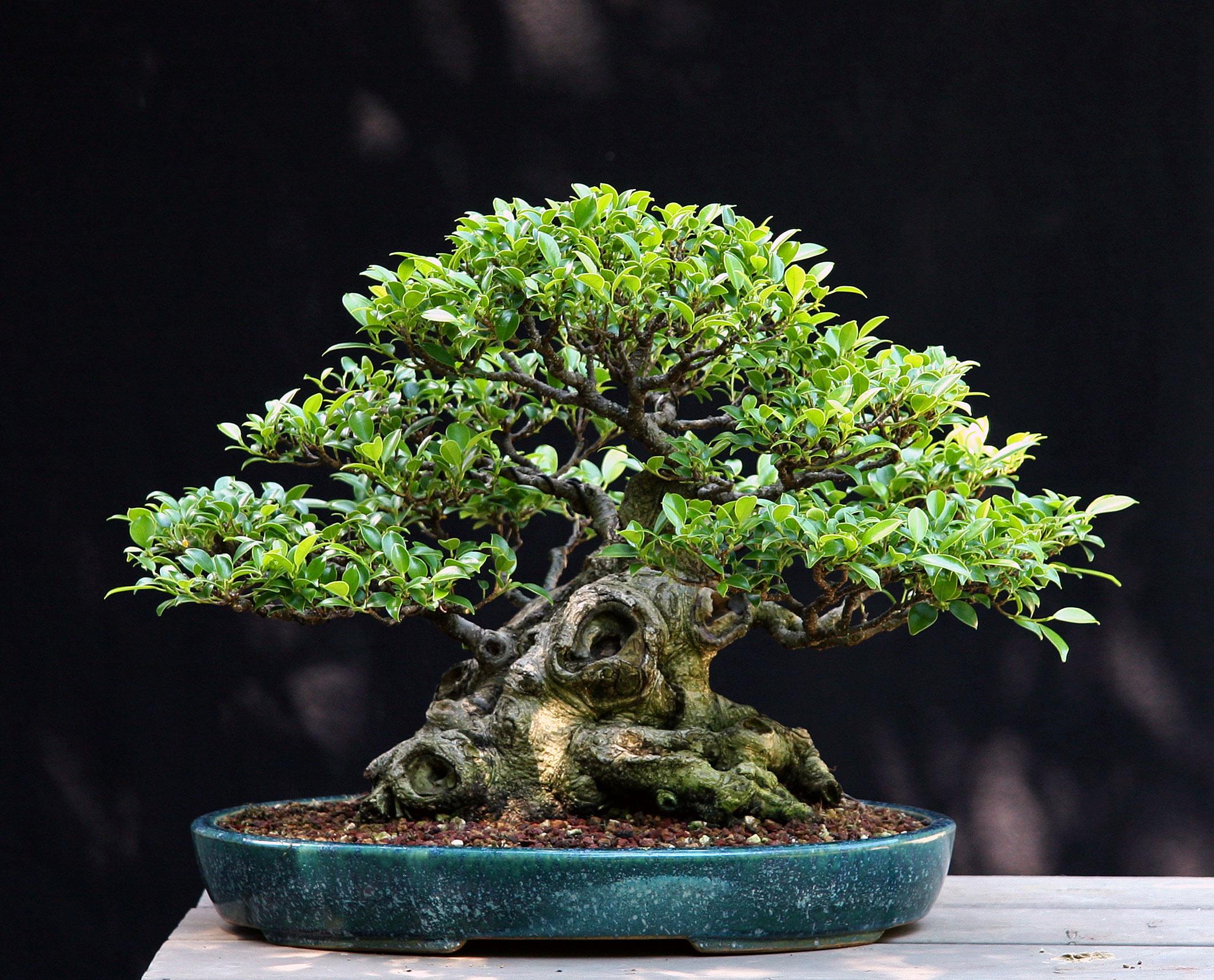 Ficus microcarpa. Winner of the2012 A.B.S. John Naka Award Hobbyist Division, Grown in North America