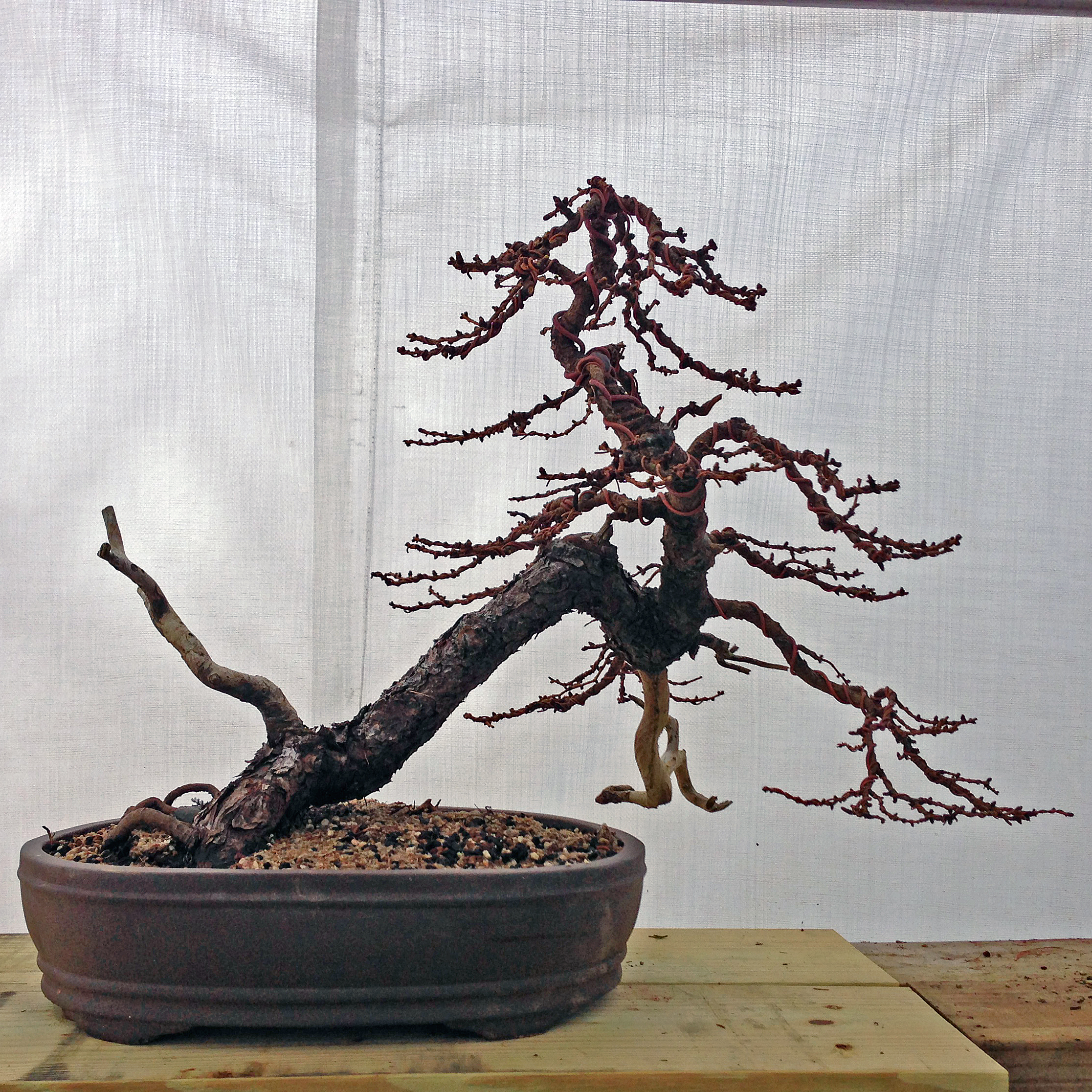 My American (Canadian) larch in its new pot. Can't wait to clean up the pot and take a photo with my real camera.