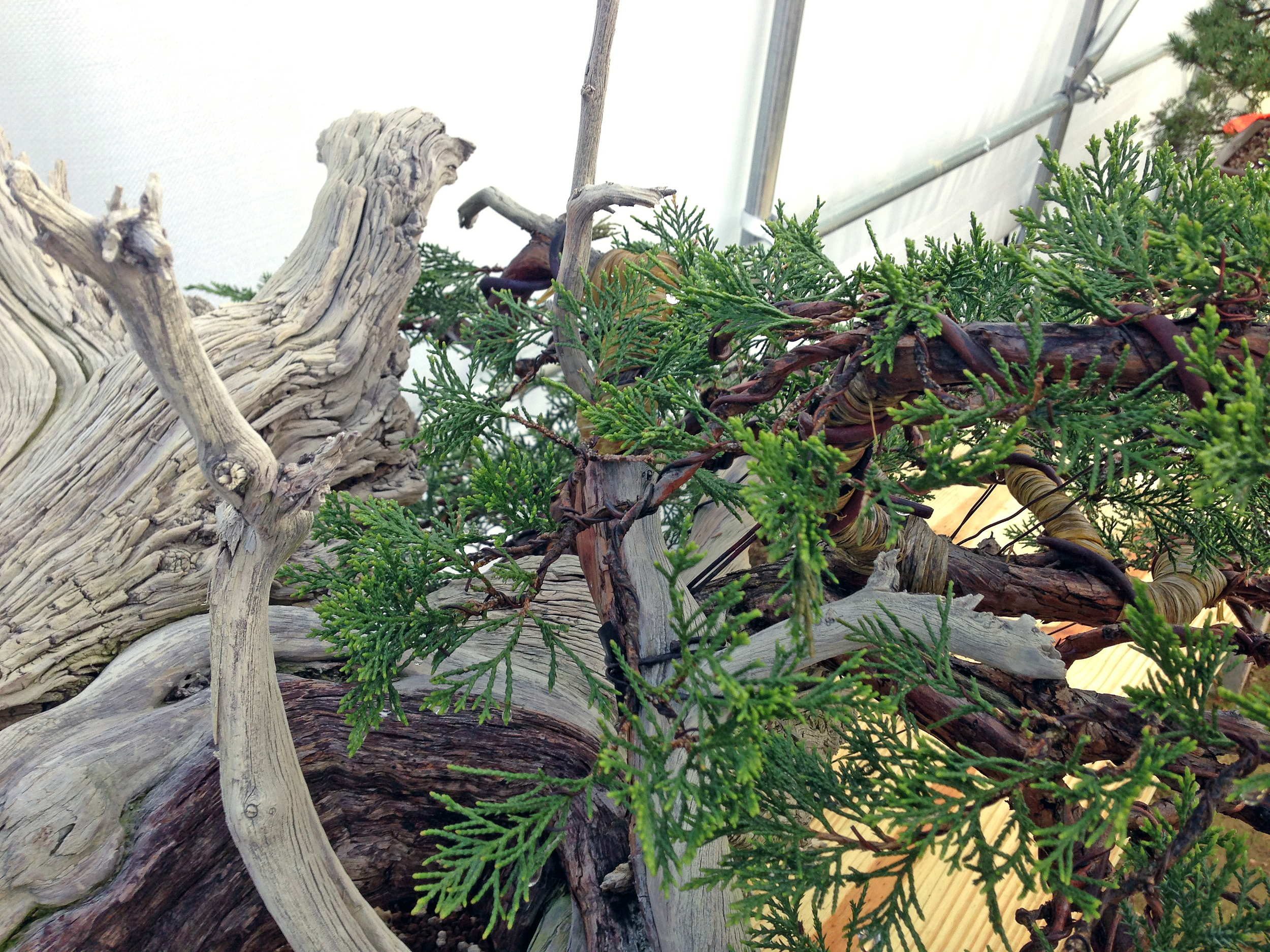Large Rocky Mountain Juniper pushing new growth just a week after its first repotting from post-collection.