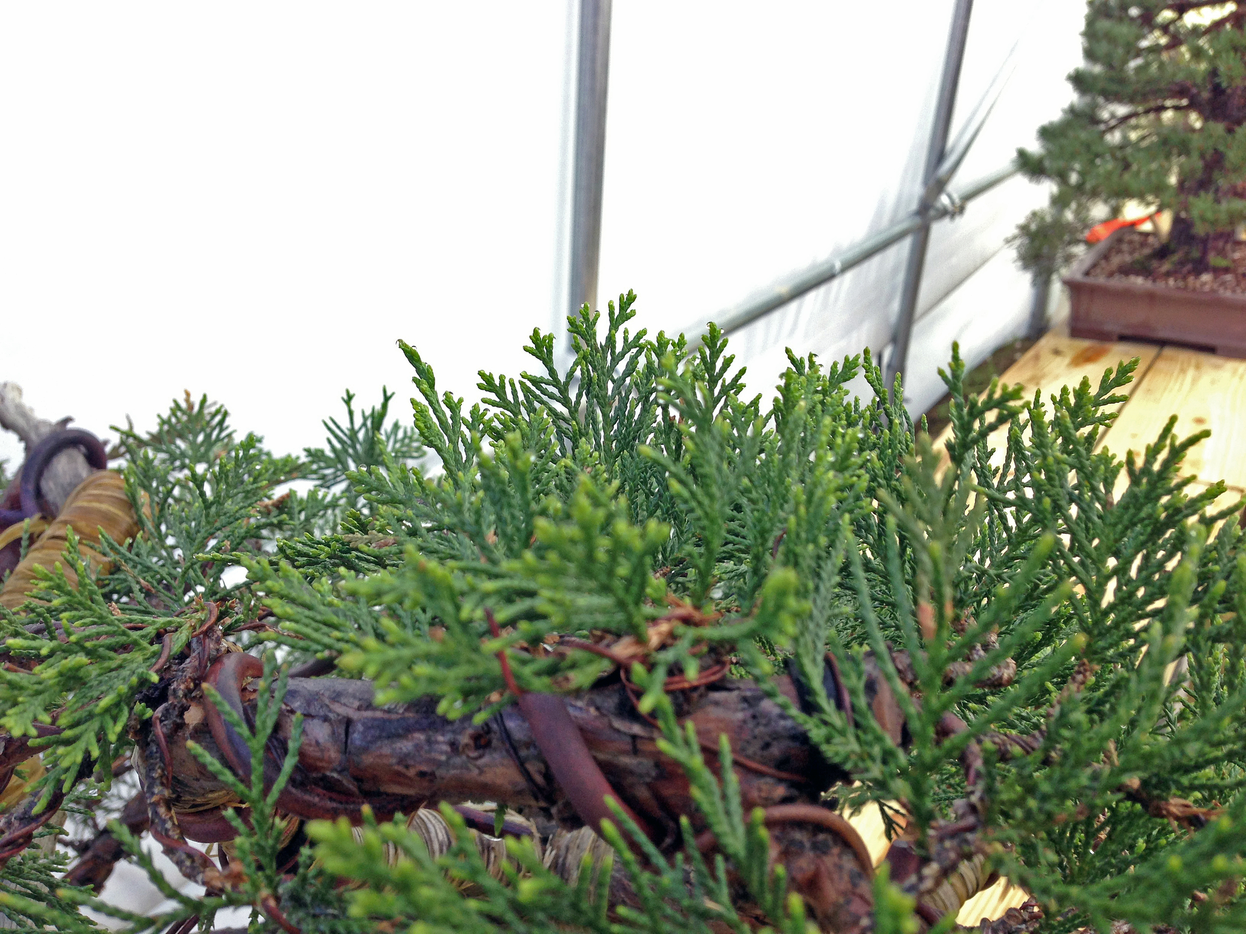 a closer shot of the large Rocky Mountain Juniper pushing new growth just a week after its first repotting from post-collection.