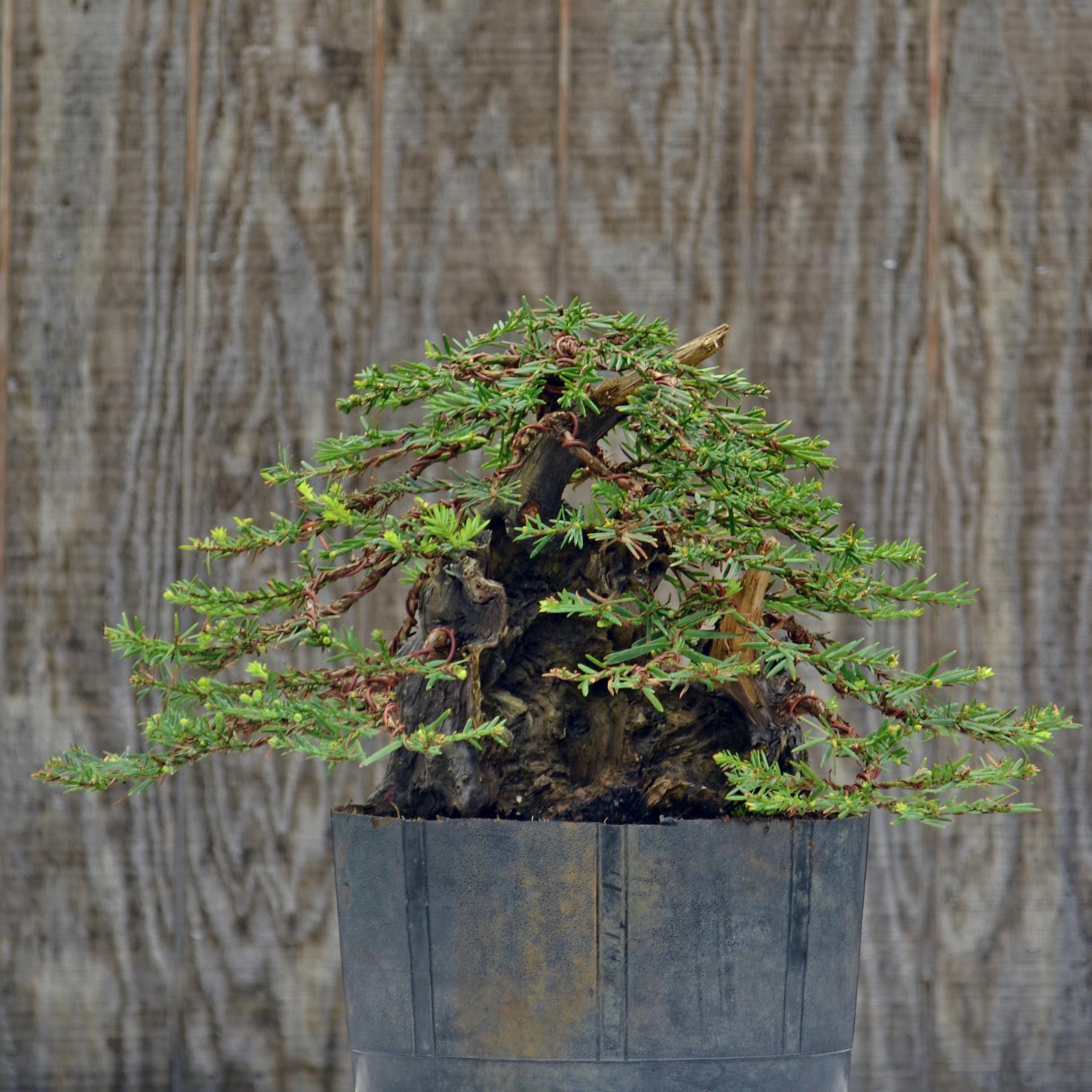 Coastal redwood after seasonal work by Michael Feduccia.