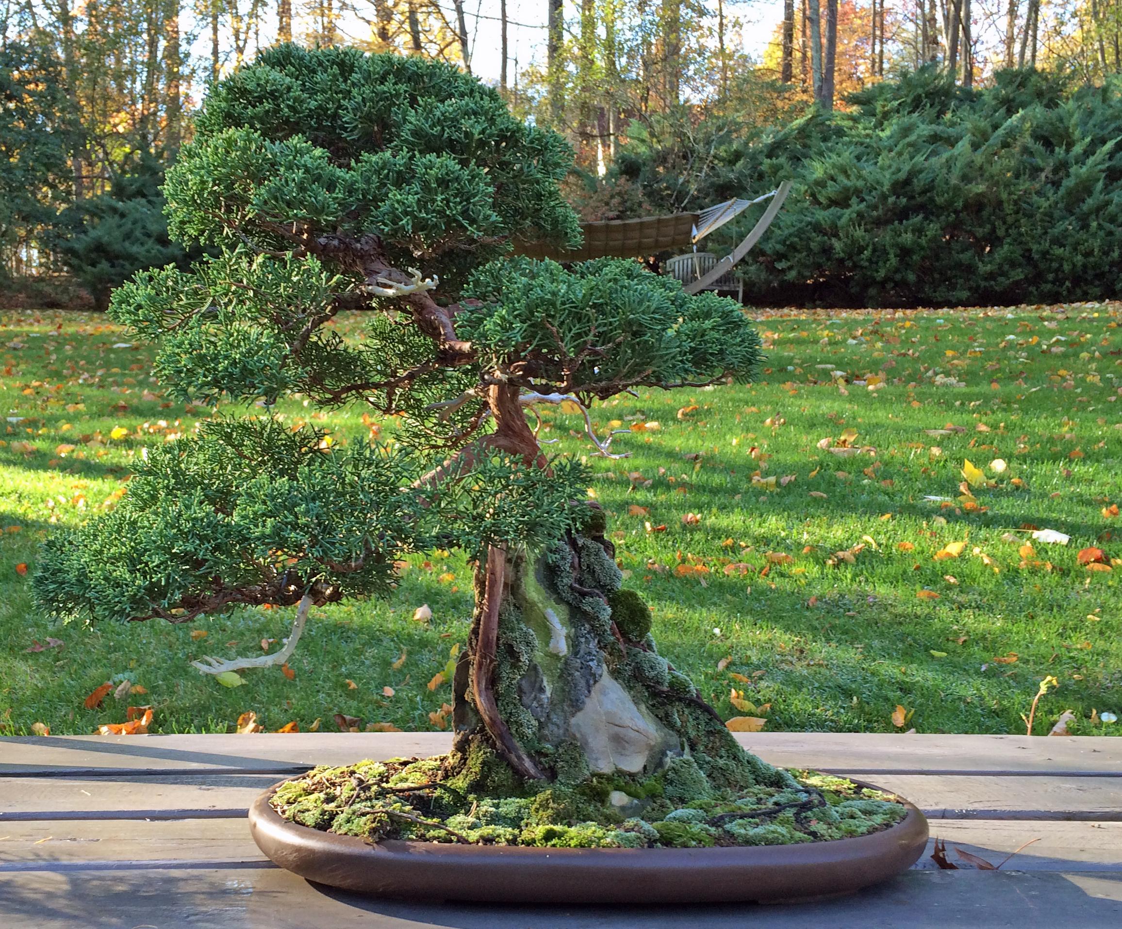 Root-over-rock shimpaku
