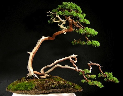 Juniperus procumbens  (Japanese garden juniper)  by Peter Keane  Exhibited at New York Botanic Gardens 2008 Featured in the ABS calendar 2012