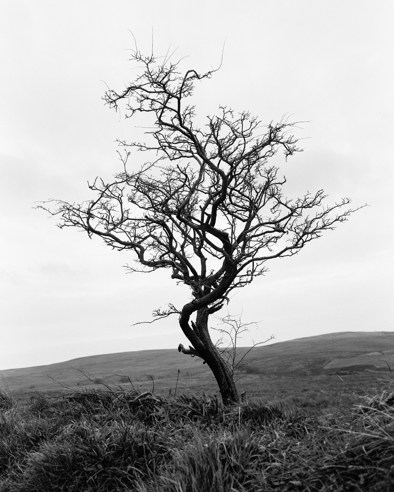 Hawthorn Tree No.1 ©Laurence Gibson