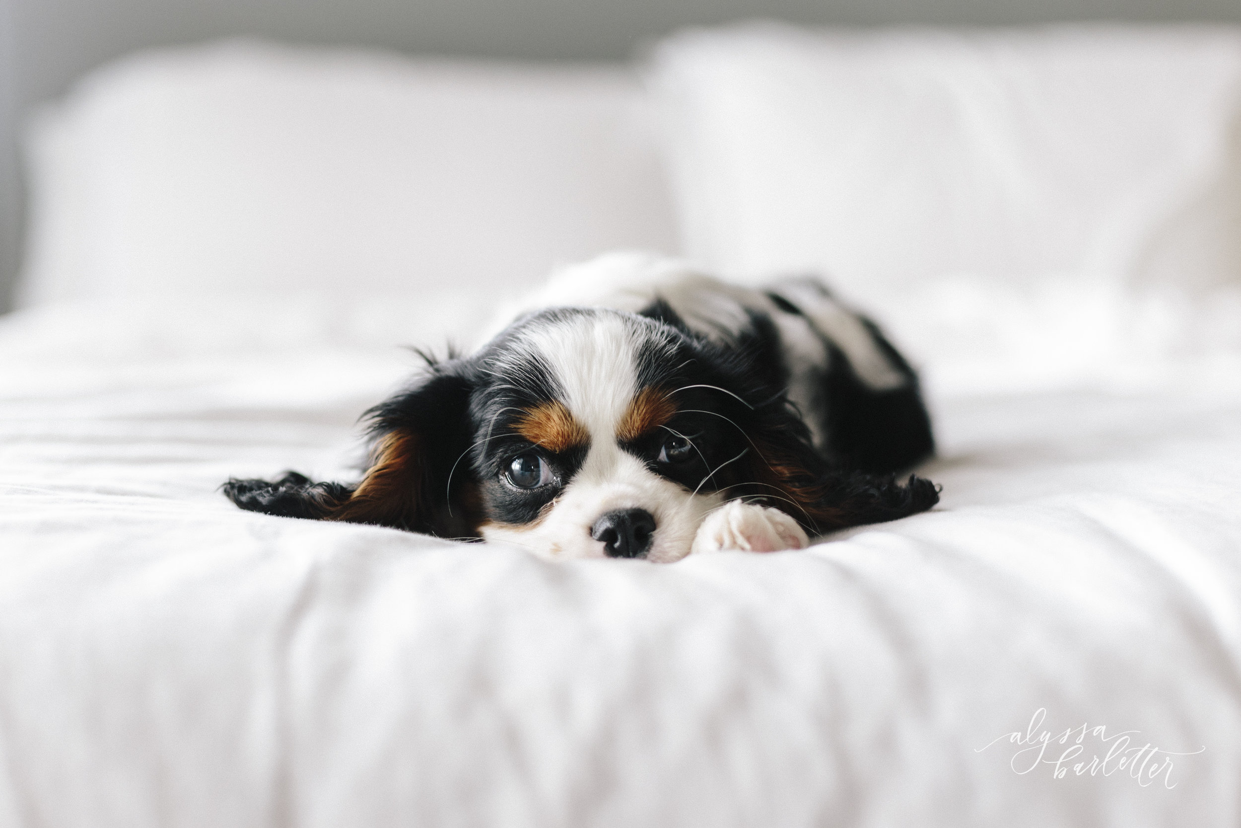 alyssa barletter photography lifestyle apartment new puppy-1-3.jpg