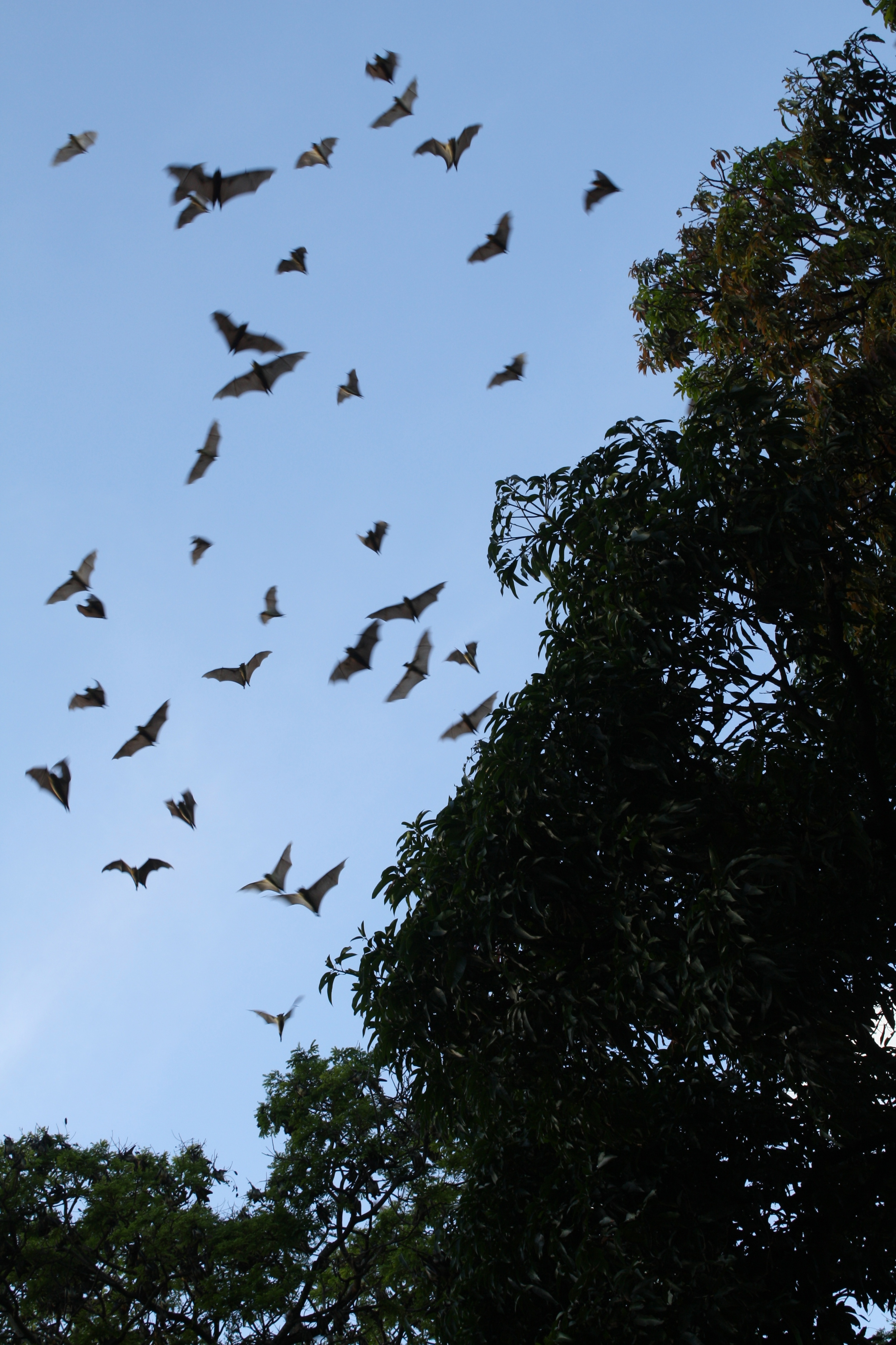 Fruit bats taking flight at dusk. Fruit bats play an essential role in pollination of many plant species, and it's easy to be awed by thousands of them flying together toward their feeding areas.