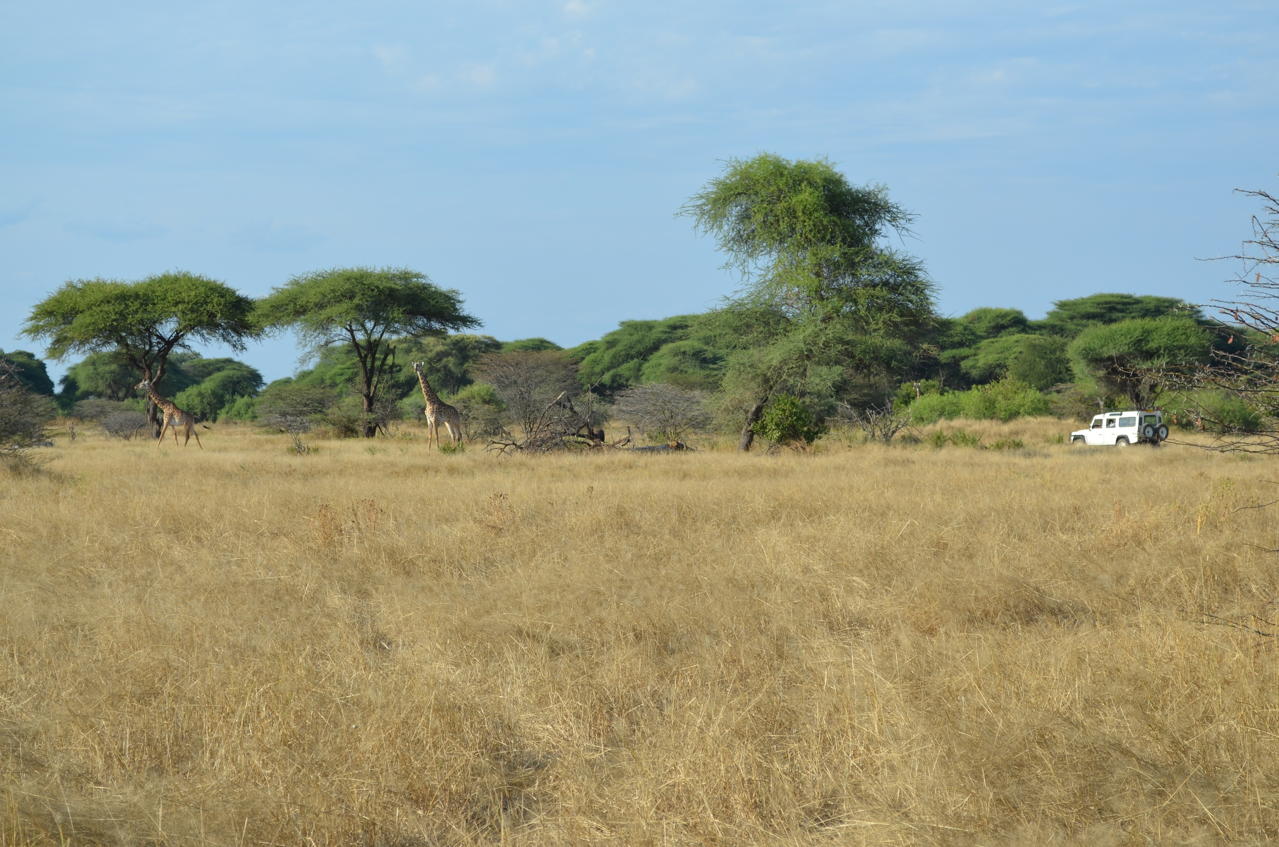 With a dart gun loaded, veterinarians in the white vehicle carefully approach the target giraffe. Although the landscape looks ideal, hidden challenges like bushes, ravines, and even snakes make giraffe captures a strenuous undertaking.