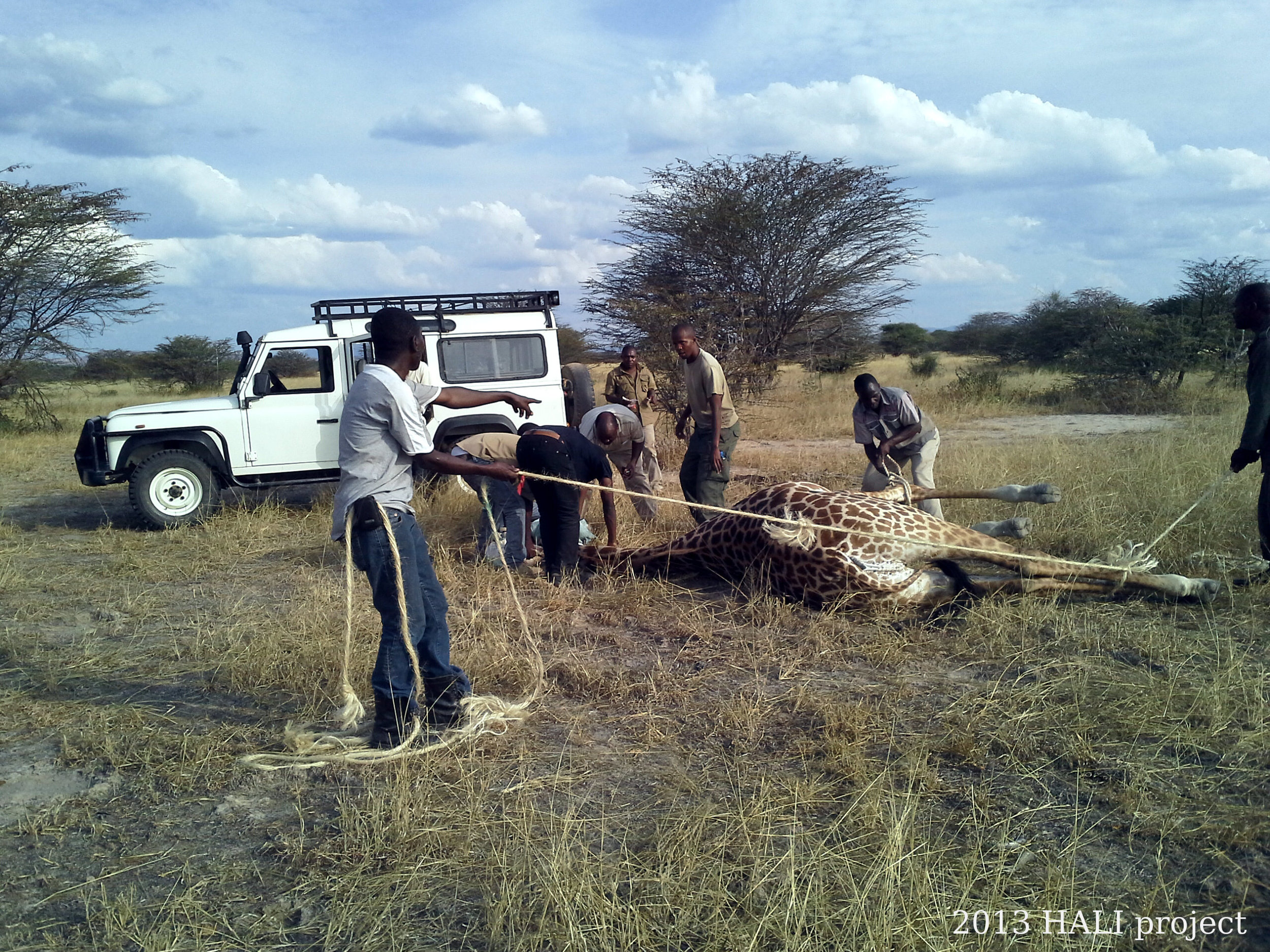 The HALI team works with Ruaha National Park veterinarians to safely restrain an adult giraffe for sampling.  Giraffes in the park have been suffering from a skin disease, leading to a partnership between the park, HALI, and Sokoine University to identify the cause of the disease and intervention options. (Photo by Goodluck Paul)