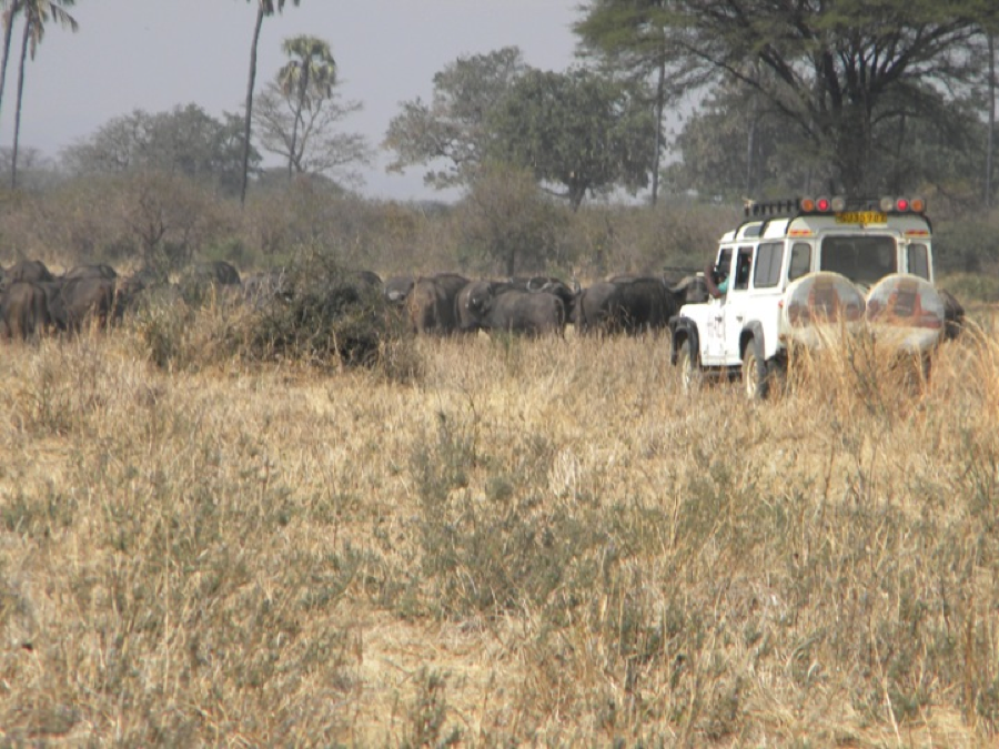 The HALI Land rover car cautiously approaches a herd of buffalo so that Prof Mpanduji, from Sokoine University (seated on the left) can be in proper range to deliver a dart containing anesthetic
