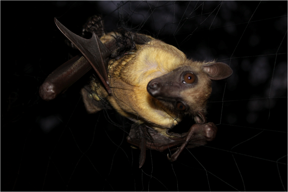 A trapped straw   colored fruit bat (  Eidolon   helvum  ).