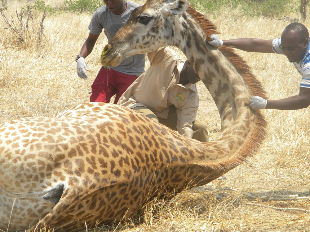 Dr. Goodluck Paul (right), Dr. Epaphras Alex Muse (middle), and Ally Kikula (left) assisting a female giraffe with getting back up after sampling (Photo: HALI Project/Roug)