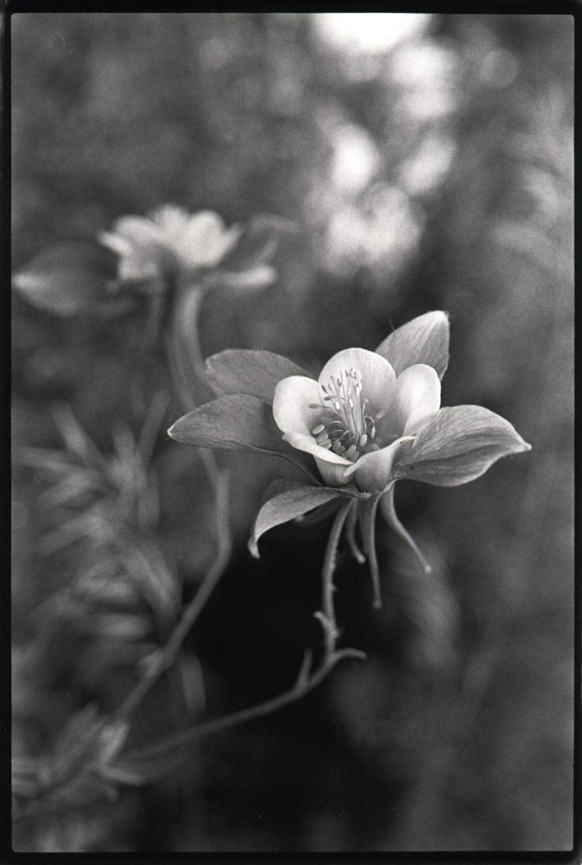 single flowering columbine .jpg