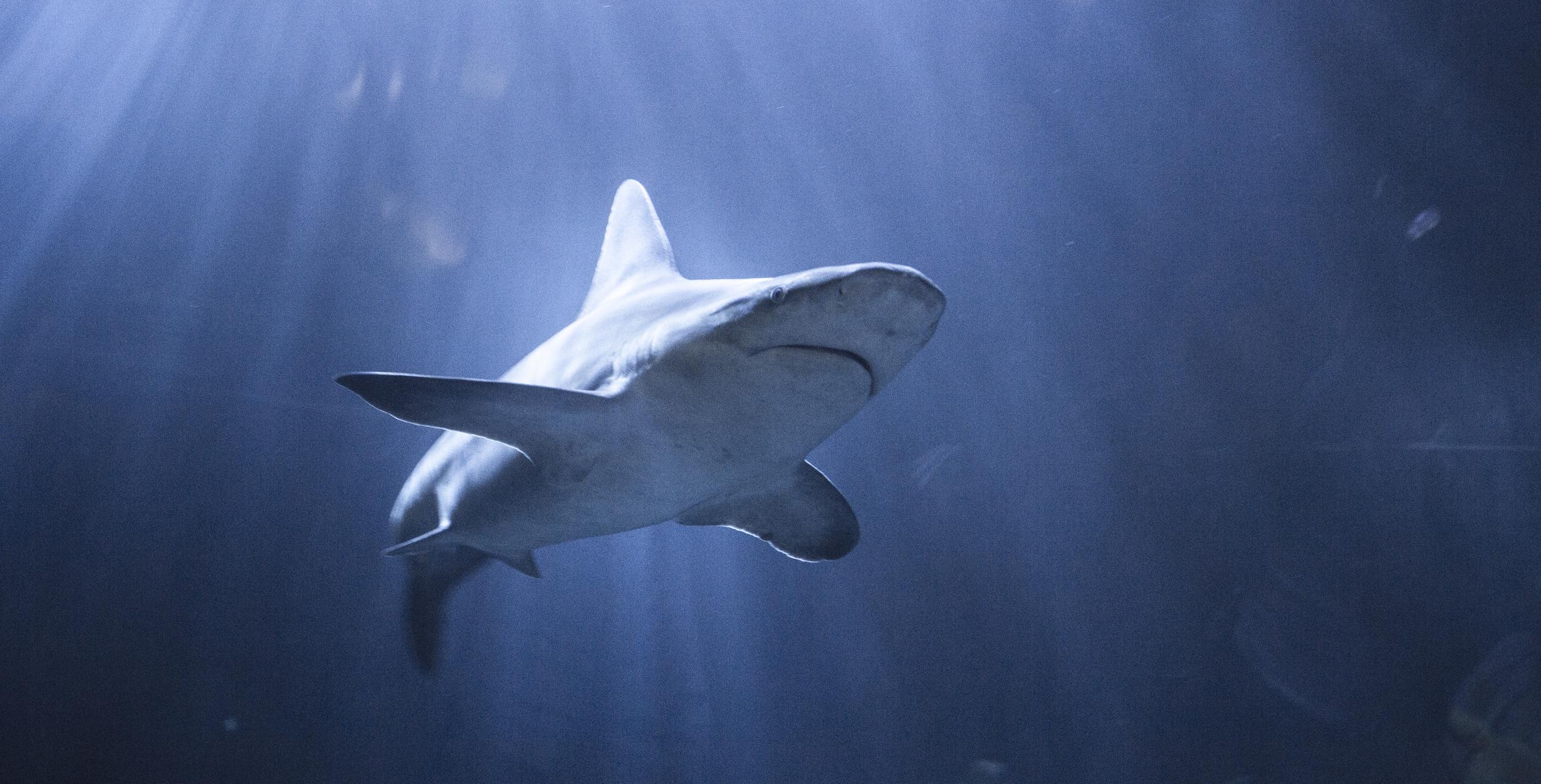 shark2.jpg