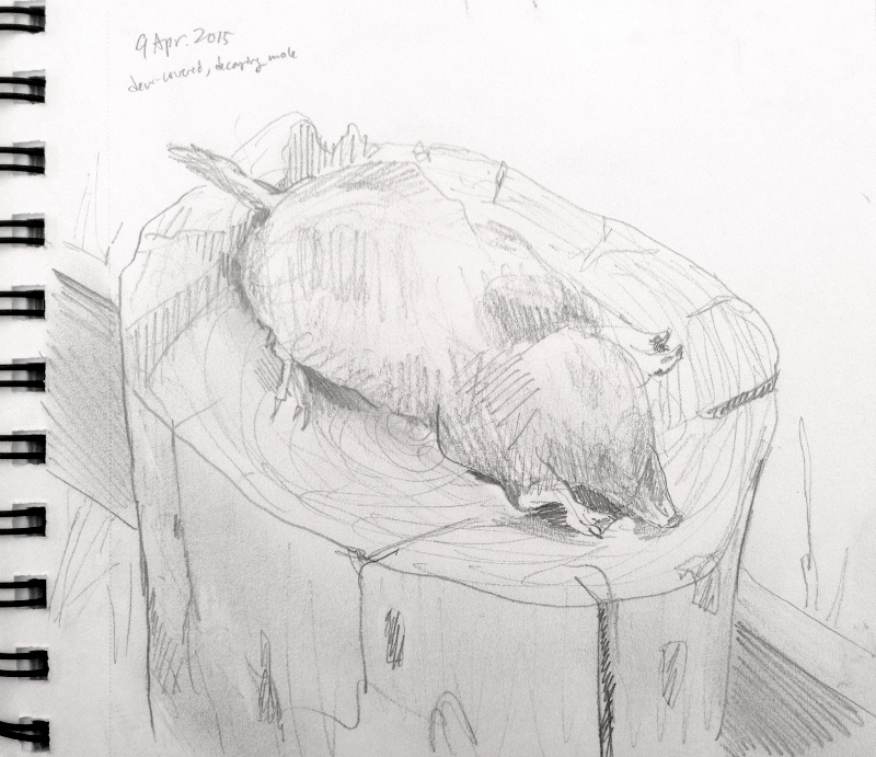 European mole (Friesland, Netherlands)