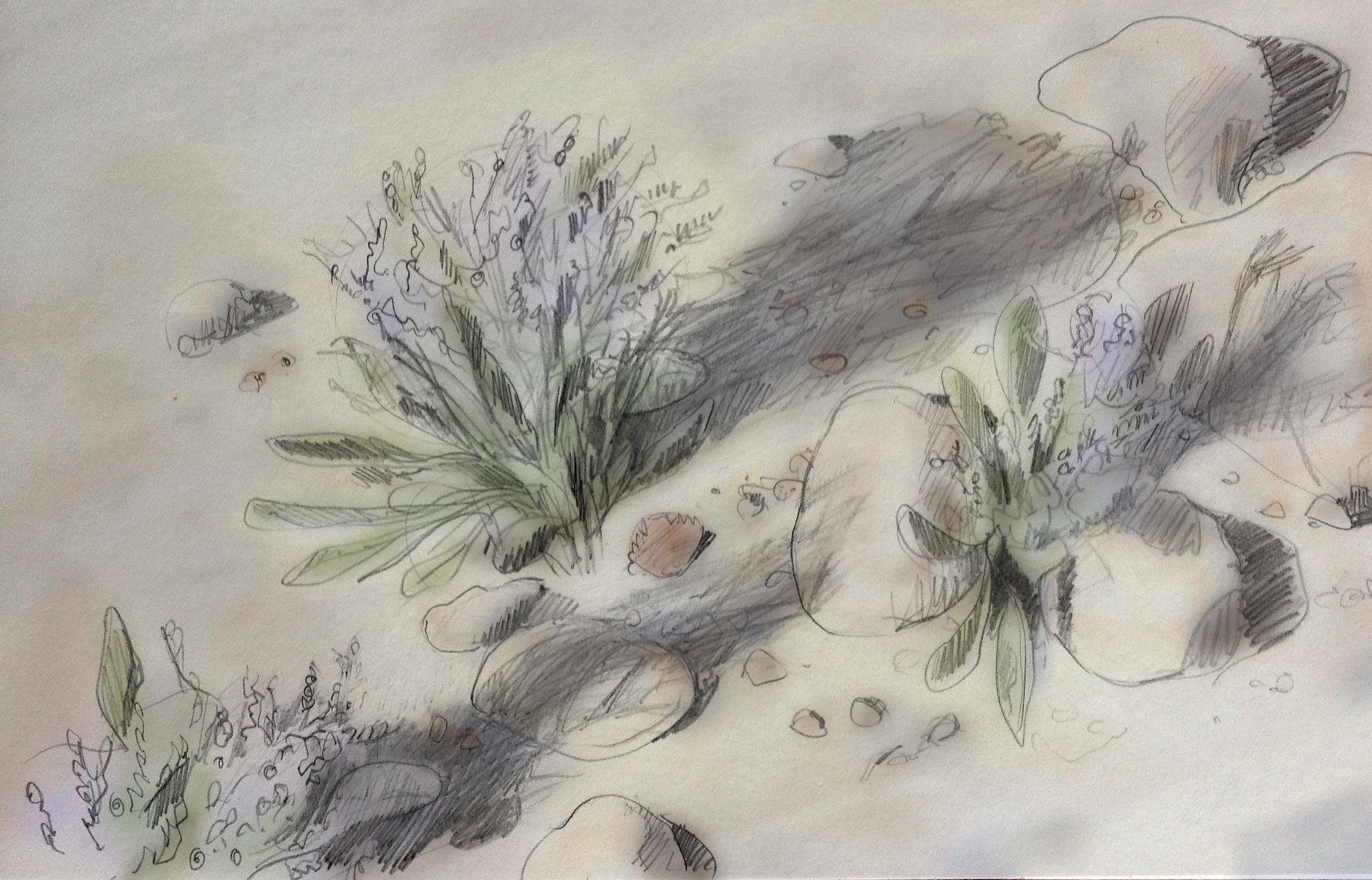 Sea-lavender,  Limonium  carolinianum (Machiasport, ME)