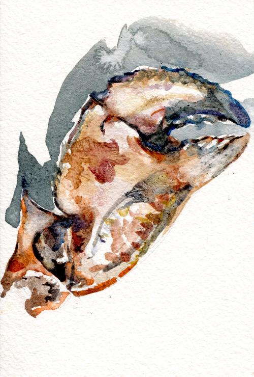 Jonah crab,  Cancer Borealis (Machiasport, ME)
