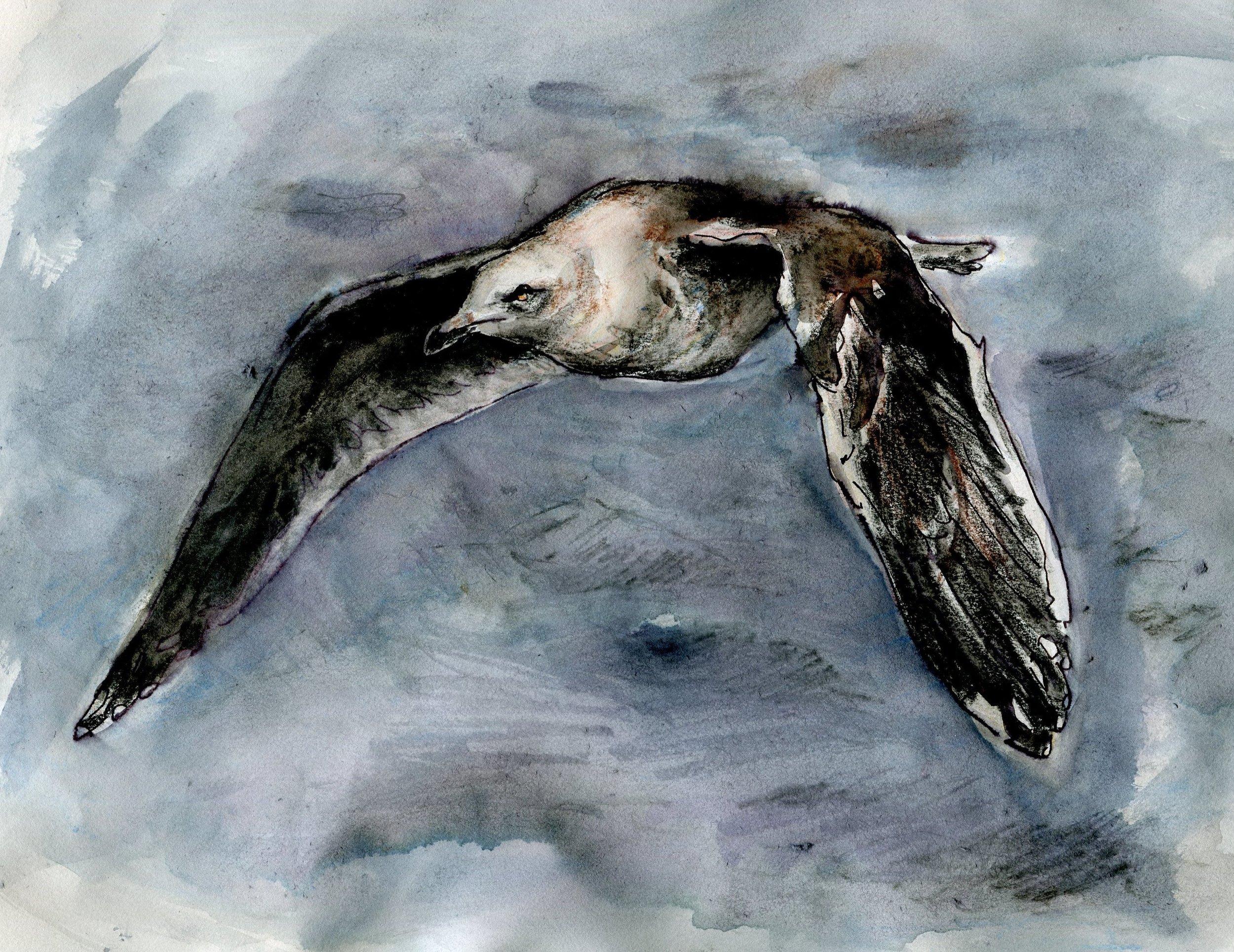 Jeremiah Trimble's Slaty-backed Gull (click to enlarge)