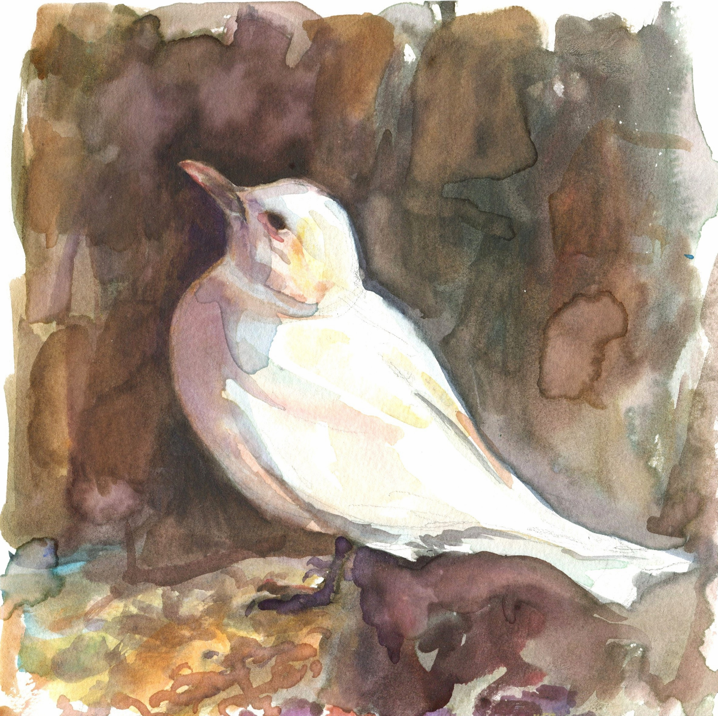 Ivory Gull (click to enlarge)
