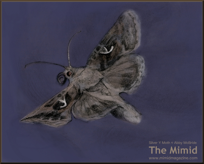 The Appropriately Named  Autographa gamma  (Wingspan about 1.5 Inches)