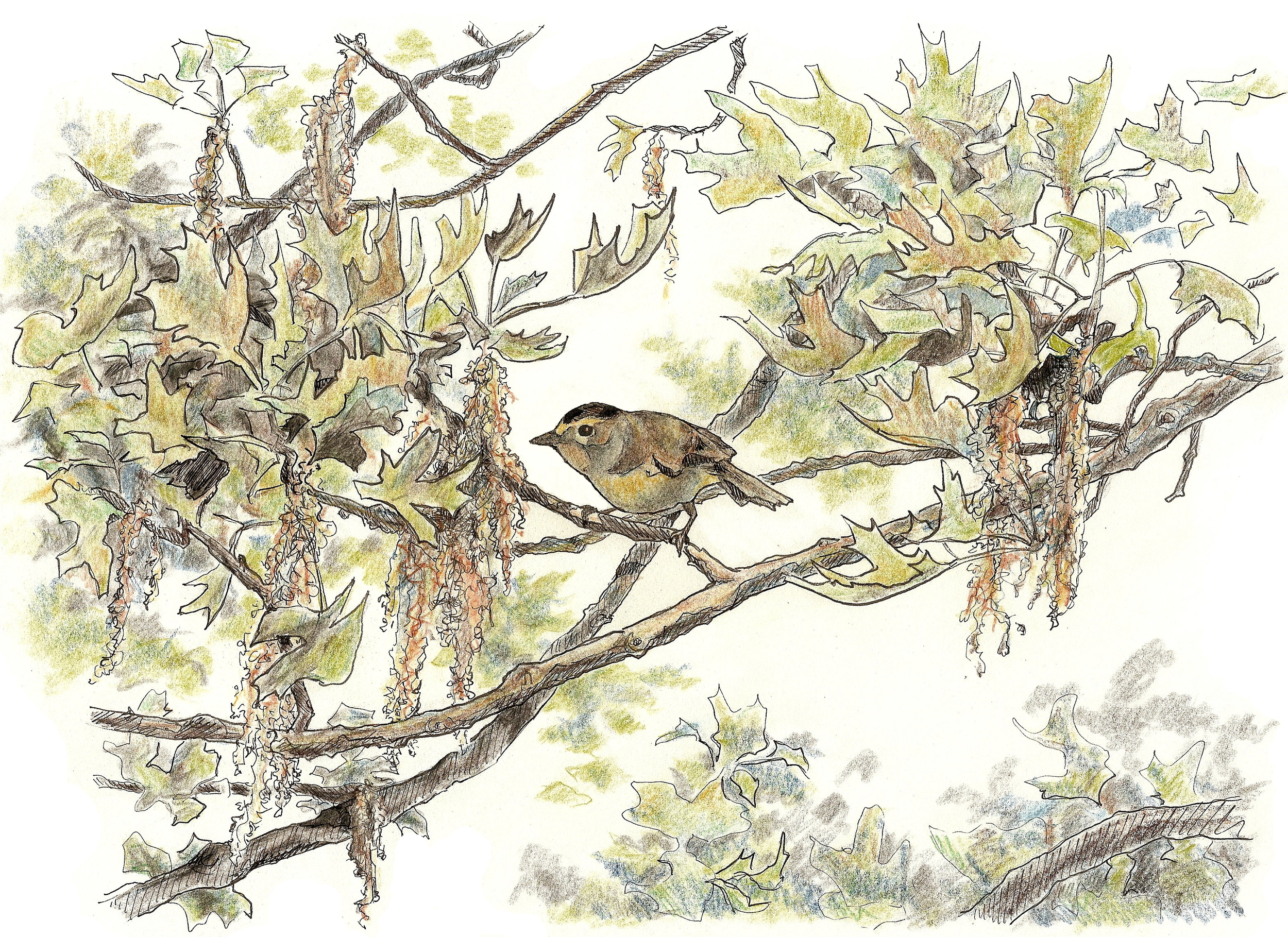 Wilson's Warbler, the star of this study. Drawn in 2008 for Acadia Birding Festival.