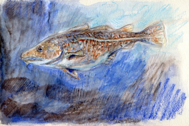 Atlantic Cod