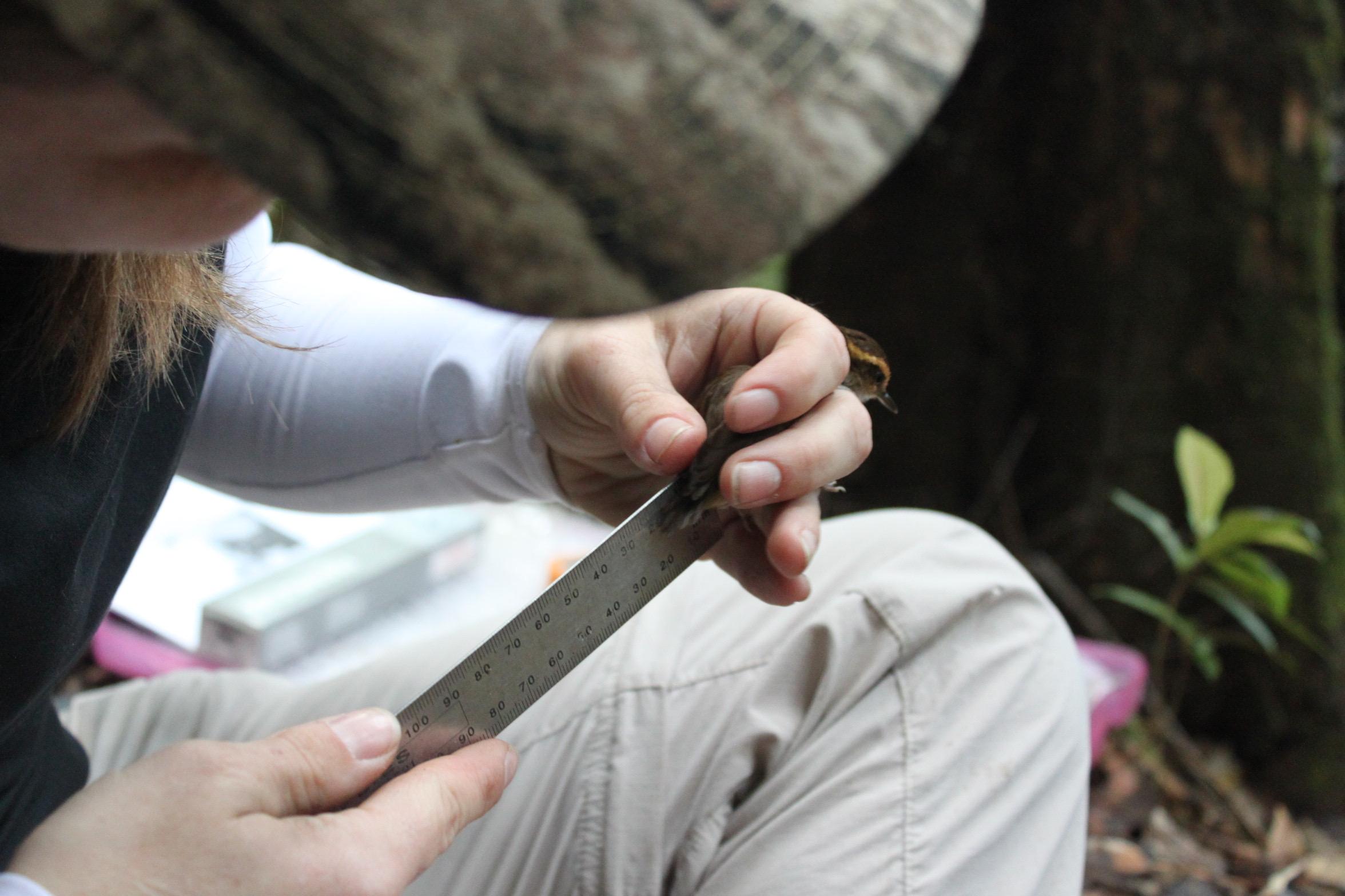 Bird bander Kristen Oliver measures a Bornean Stubtail's stubtail