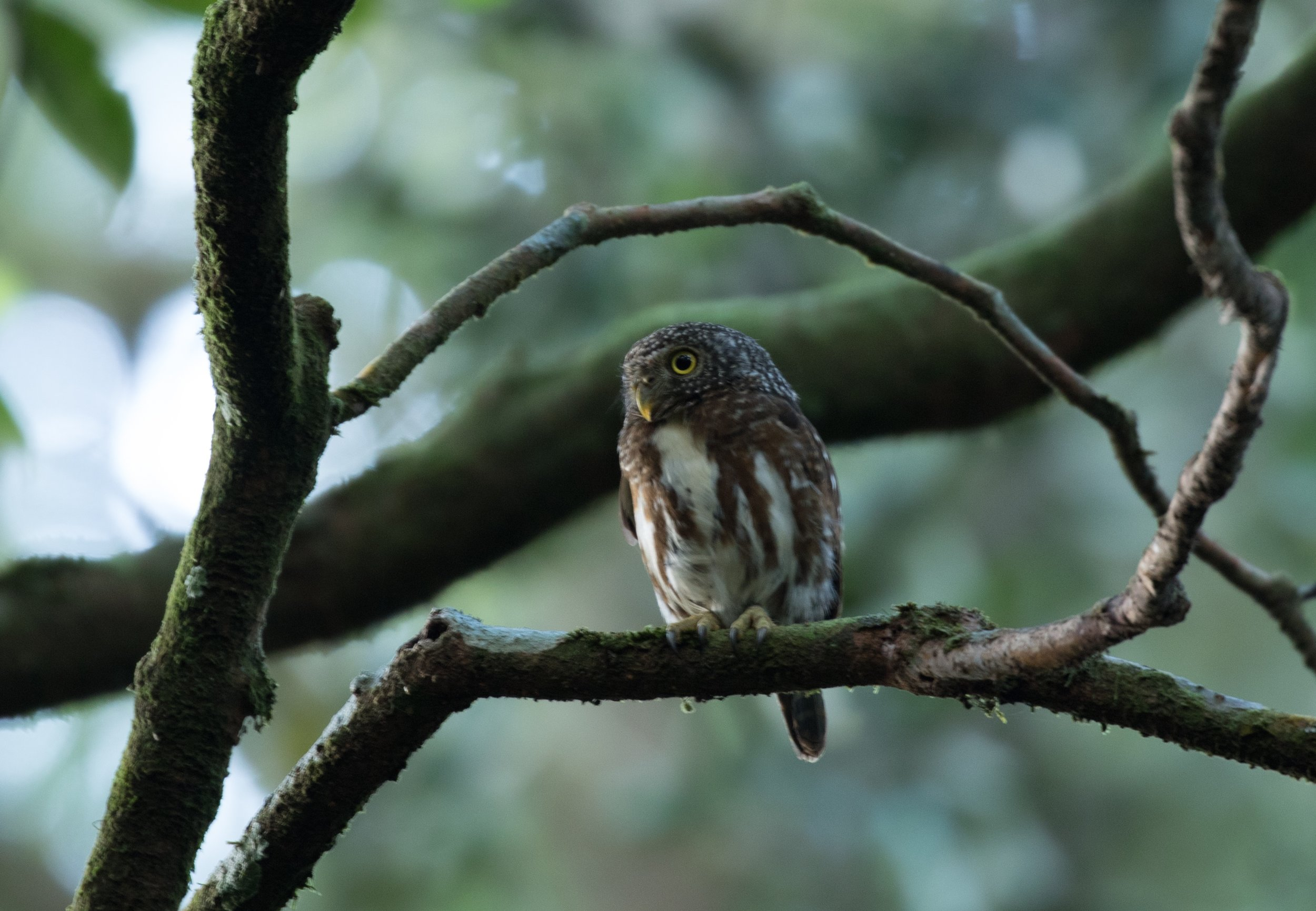 A Collared Owlet and I were both roaming the forest at 6:30 a.m.