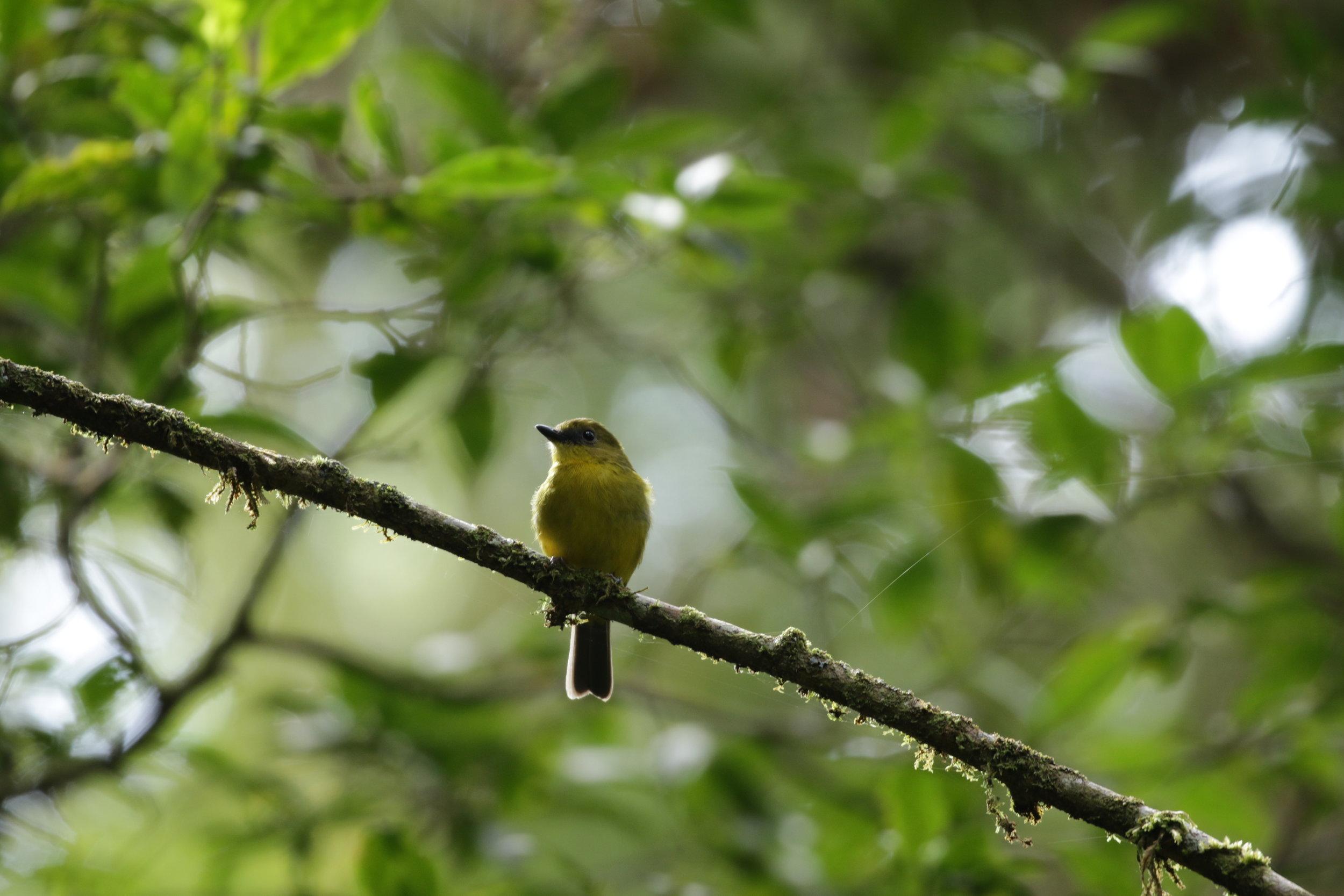The endemic Bornean Whistler