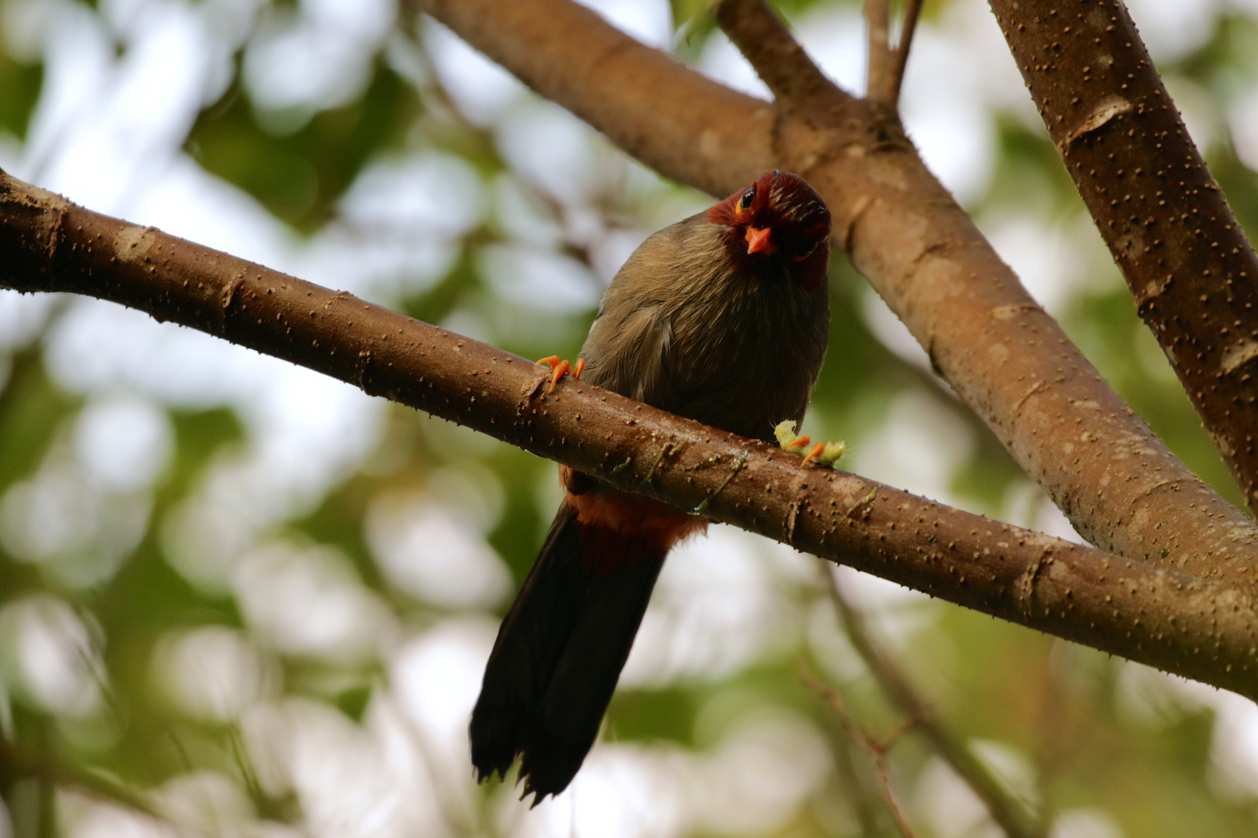 Nobody enjoys a caterpillar like a Chestnut-hooded Laughingthrush