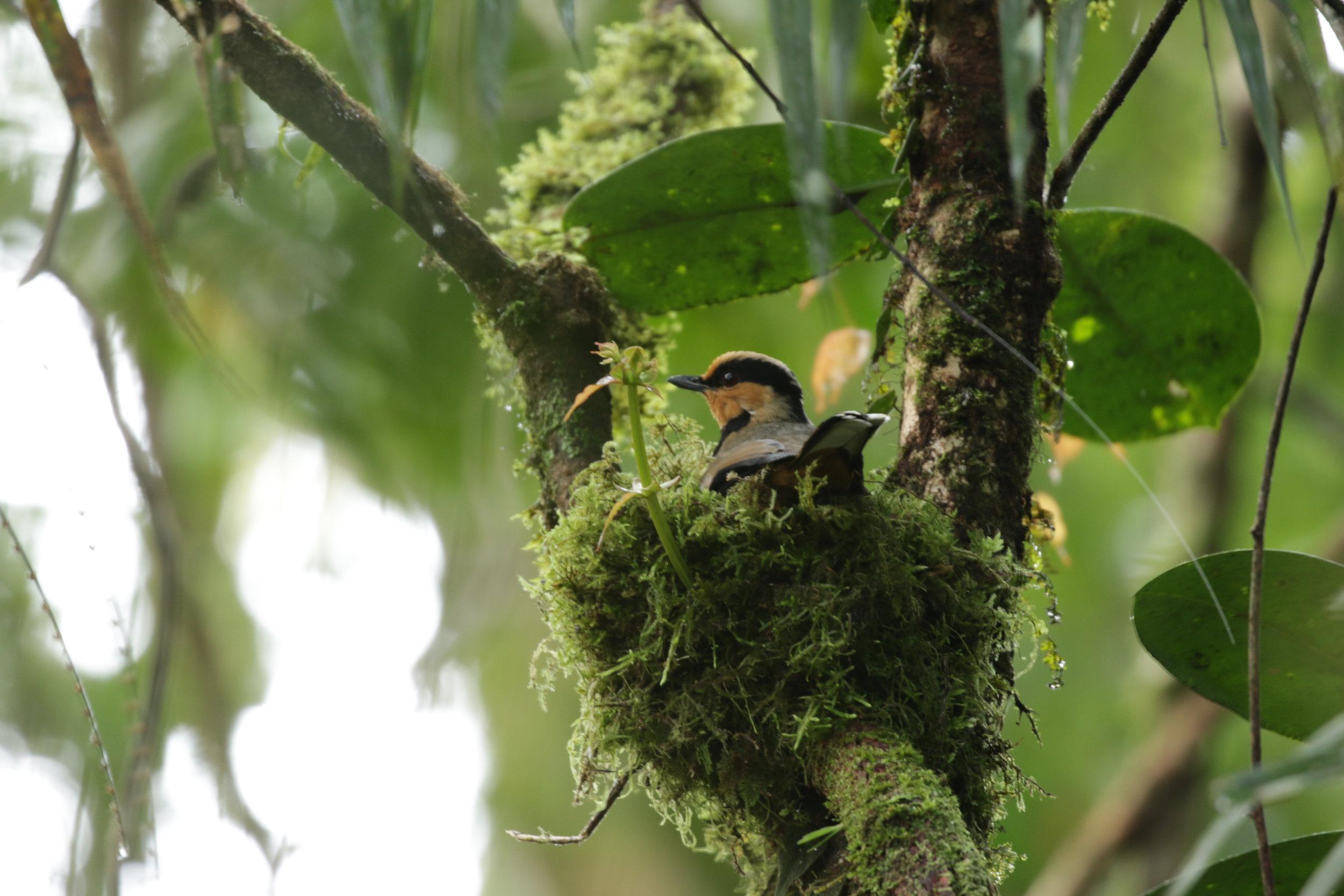 Fruithunter female on the nest