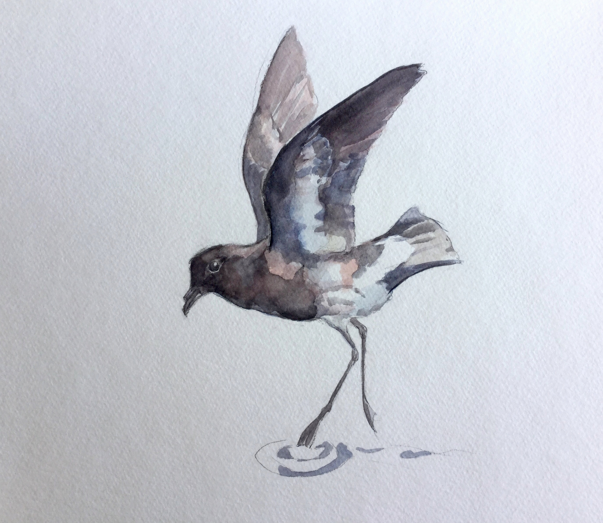The Long-Lost New ZeAland Storm- Petrel (Click to enlarge)