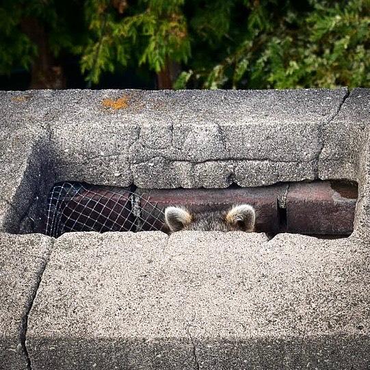 🍁Avec l'arrivée de l'automne, nous avons fait la rencontre de notre nouvelle mascotte Serveko🐼 . . 📍Saint-Eustache, QC . . #entrepreneur #toiture #construction #couvreur #roofer #roofing #roof #mascotte #raton #ratonlaveur #automne #automne🍂 #fall