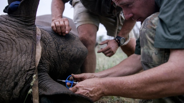 inserting a microchip into the skin of a rhino - what an honor to be part of such an awesome program