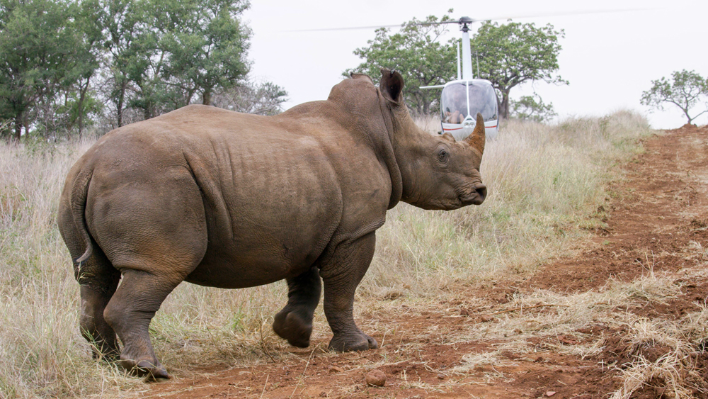 reshly mircochipped and just awake from the drugs-the crew had to be careful not to be too close - the rhinos often wake up in a foul temper !