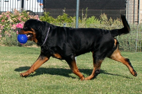 An imported dog, Escobar, sports a perfect tail!