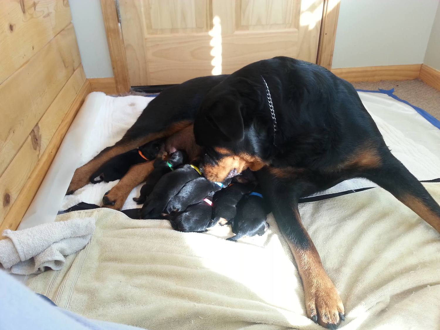 Mom and pups should be clean, appear healthy and in good weight. She shouldn't be stressed or in poor condition.