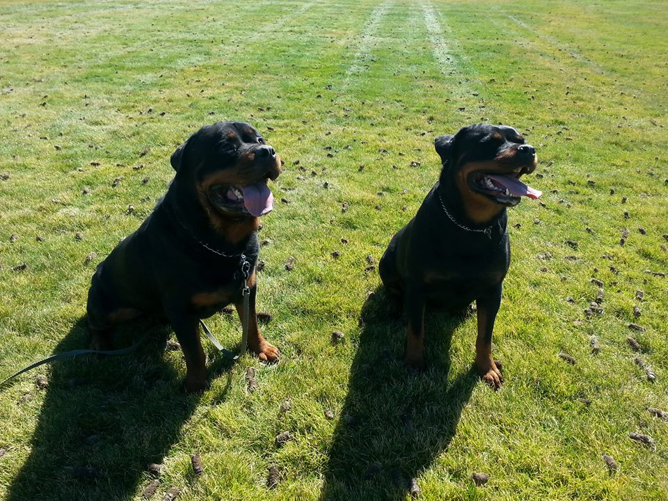 Escobar and Mercedes are both great examples of carefully planned purebred Rottweilers