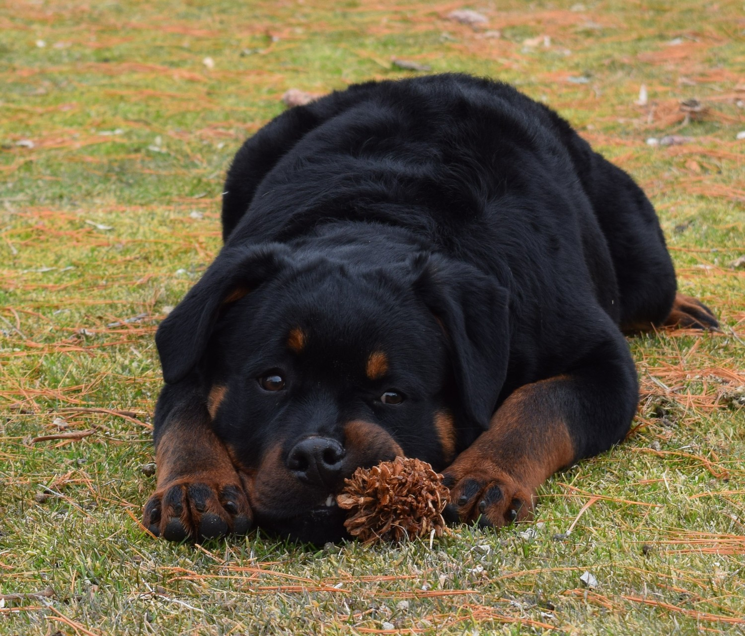 Fly Away Ears — AKC German Rottweiler Puppies For Sale