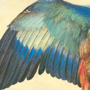 """Durer, """"Wing of a Blue roller"""" (detail), 1512"""