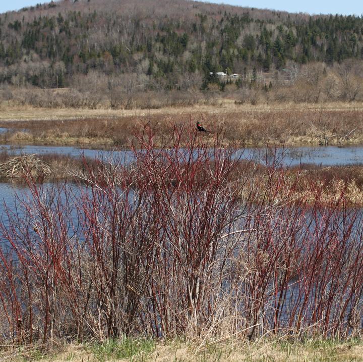 Red wing blackbird in the Wildlife Management Area near hay fields
