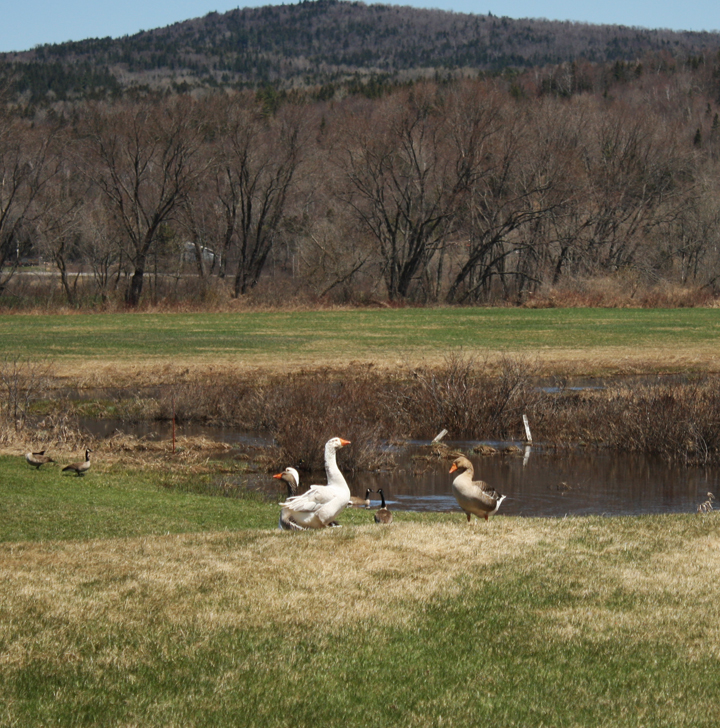 Farm geese look at wild geese...