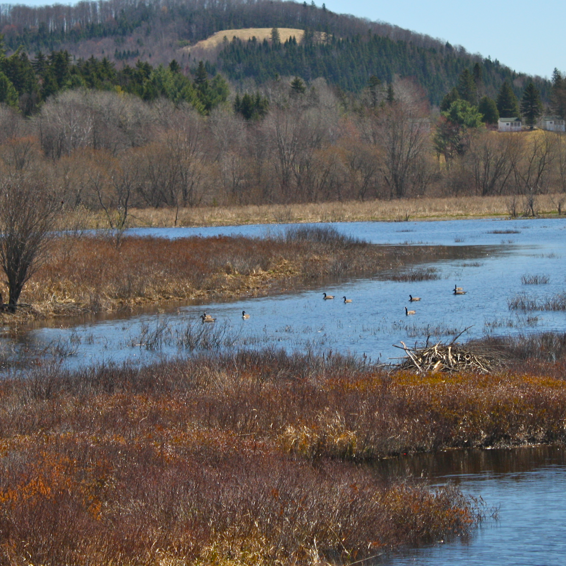 Wild geese float by beaver lodge