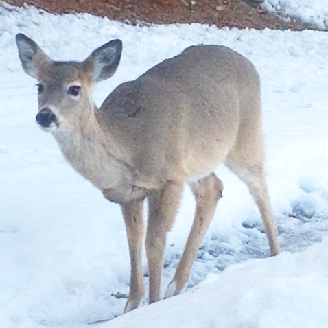 Wild Deer photographed from a kitchen window in Wisconsin.