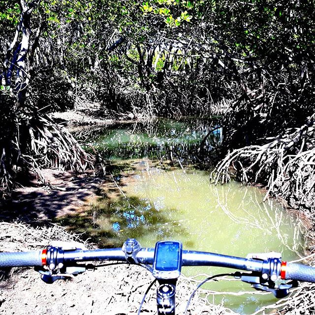 Searching for salt water crocodiles in the Mangroves!
