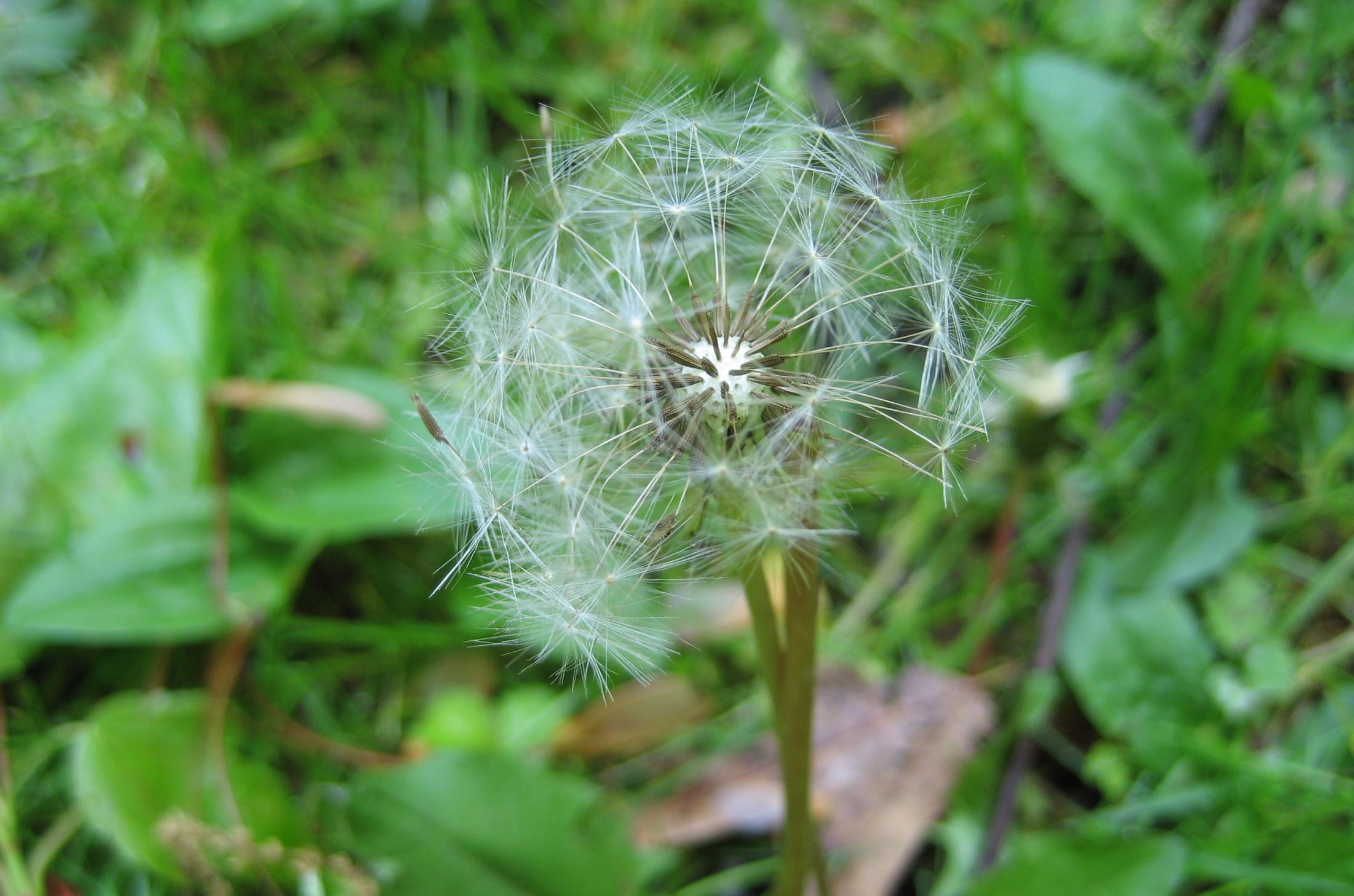 spring dandi seeds.JPG